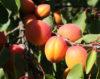 abricots recolte
